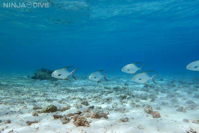 体験ダイビング ファンダイビング ビーチダイビング グアムの水中生物 マルコバンアジ イパオ