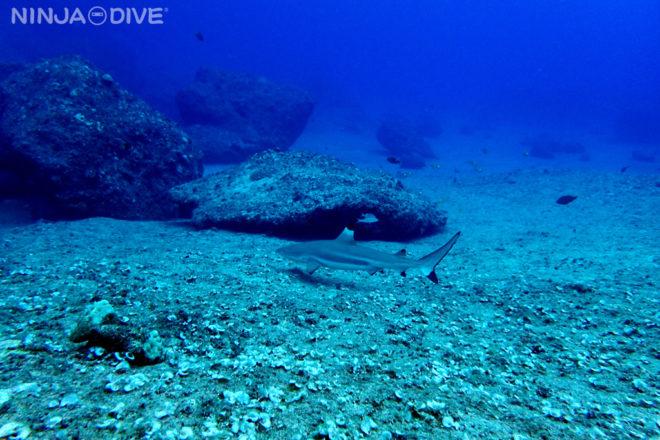 グアム中部 ファンダイビング ボートダイビング バラクーダロック クレバス ブラックチップシャーク
